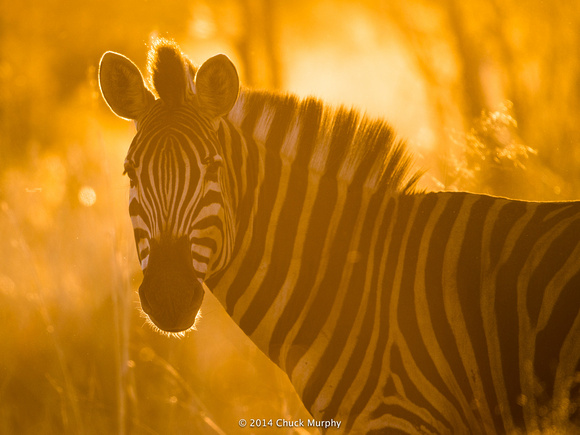 Zebras are surprisingly skittish, but we did get close enough to this guy right at sunset so I could get this shot.