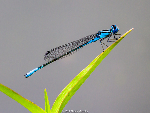 Male Azure Bluet damselfly