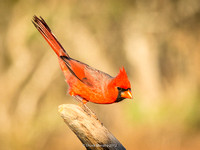 Northern Cardinal at sunrise