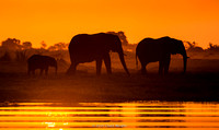 A family of elephants at sunset on the Chobe river