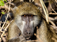 Baboon, male