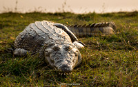 Just a big old Nile Croc, looking pretty well-fed