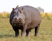 Hippo with hitchhiker: An oxpecker bird, which eats the ticks off these guys and other wildlife.