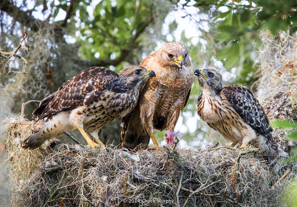 Red-shouldered hawk feeding her juveniles