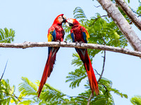 Another pair of Scarlet Macaws, grooming each other